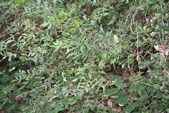 G2 - Max Rebenaque - pistacia lentisus- llentiscle (2)