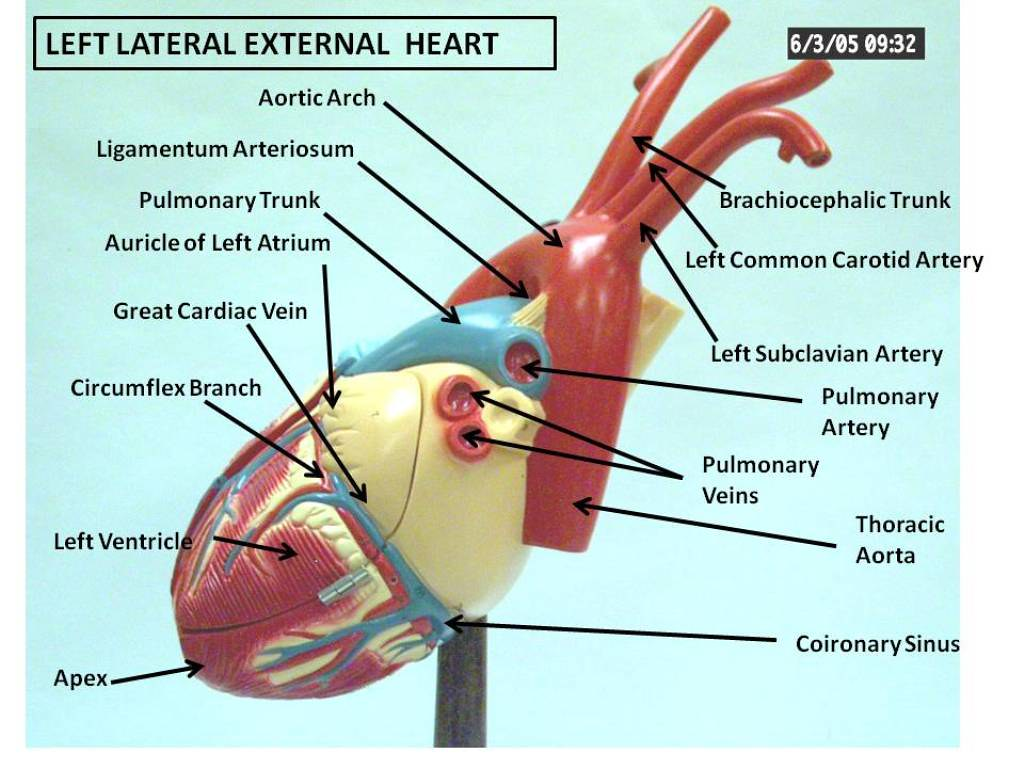 Left Lateral External Heart | Anatomy Physiology | Flickr