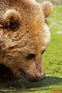 European Brown Bear | by http://andrewskelton.net
