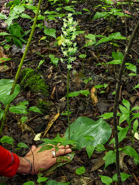 Pad-leaf orchid