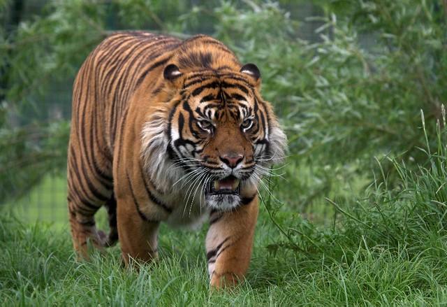 Sumatran Tiger - Wildlife Heritage Foundation in Kent, England – photo by BrianScott