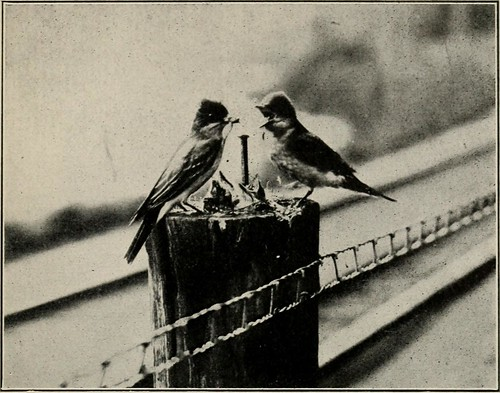 "Image from page 168 of ""How to study birds; a practical guide for amateur bird-lovers and camera-hunters"" (1910) 