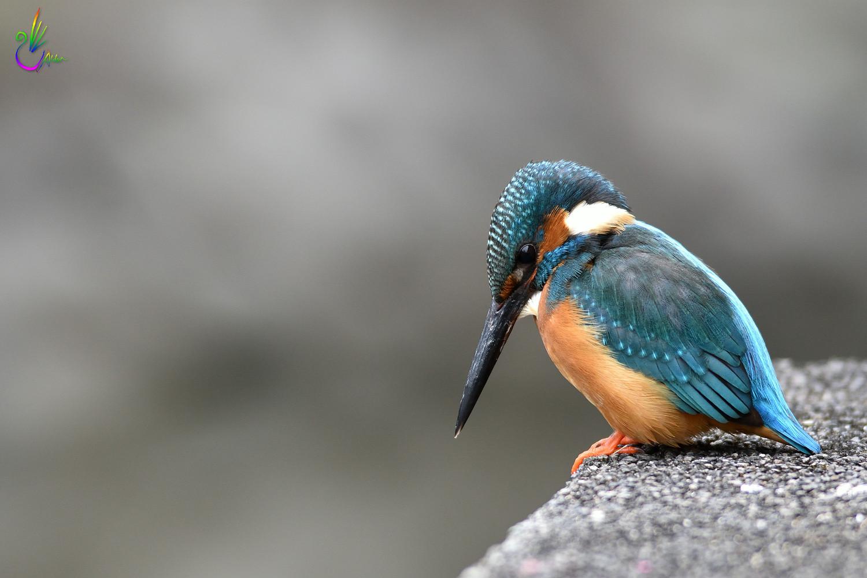 Common_Kingfisher_1081