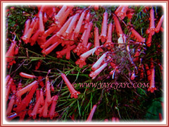 Russelia equisetiformis (Firecracker Plant, Coral Fountain/Plant, Fountain Plant, Coralblow) flowering in abundance, 8 April 3017