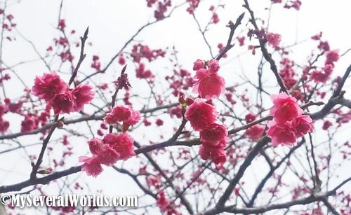2017 Yangmingshan Flower Festival-03247