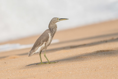 Indian Beach Heron