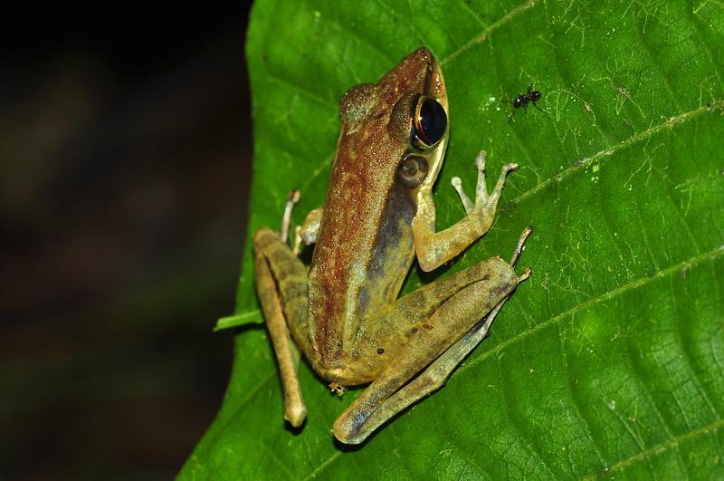 Длинноногая лягушка (Meristogenys amoropalamus), фото фотография амфибии