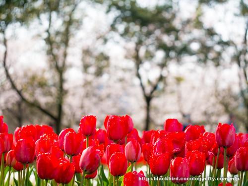 Tulip 20170409 #02