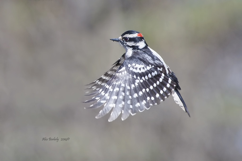 Image result for the downy woodpecker flying
