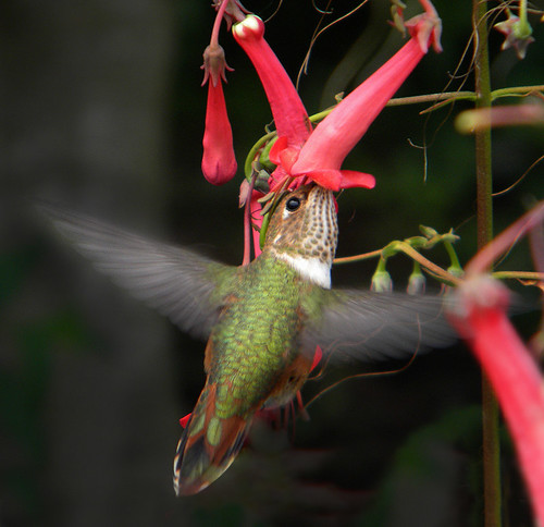 Hummingbird into the Red Trumpet Flowers