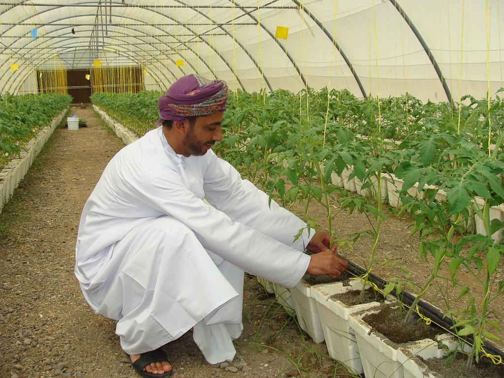 Soilless farming in water scarce regions oman soilless for Soil less farming