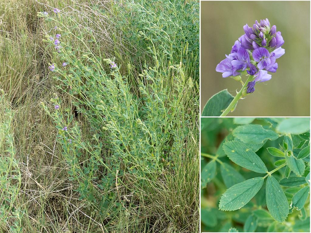 Alfalfa Plant | Alfalfa growing in the grassland at ...