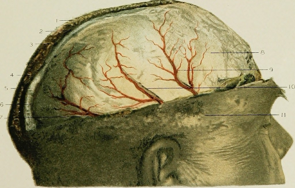 Image From Page 118 Of Regional Anatomy In Its Relation T Flickr