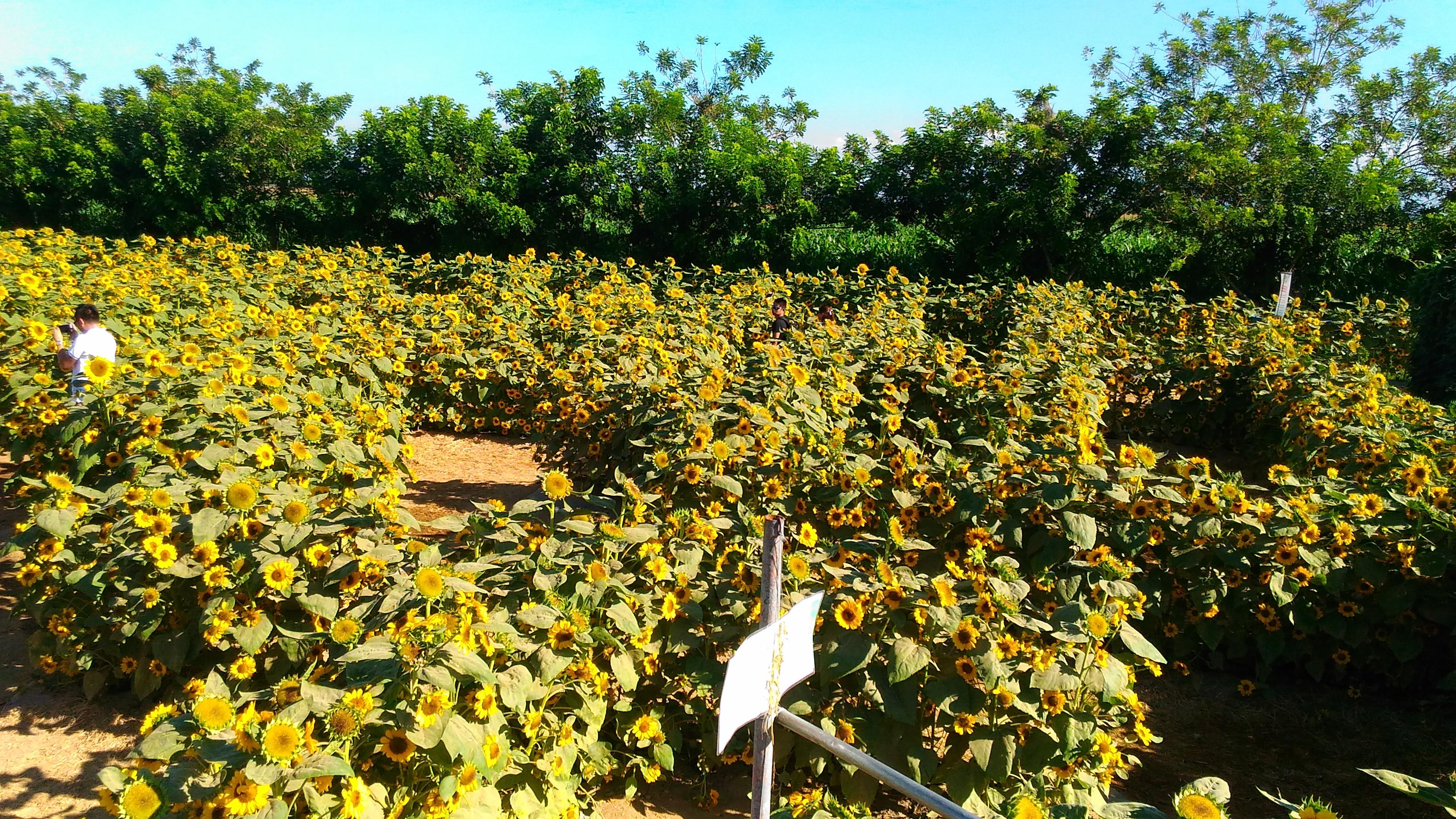 sunflower maze_2017_6