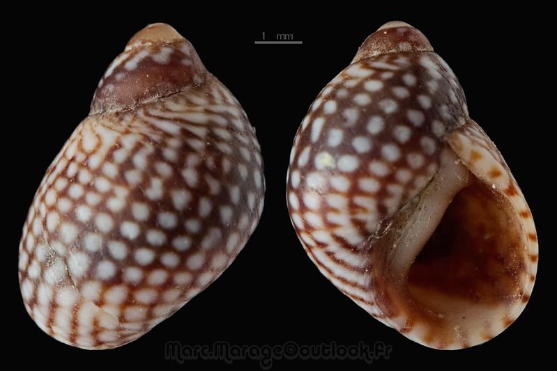 Echinolittorina meleagris - (Potiez & Michaud, 1838)  33210303445_9ba1ee79d9_c