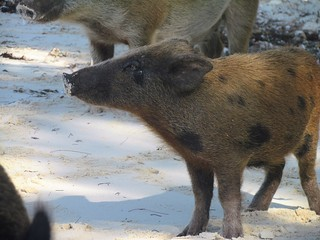 no name pigs