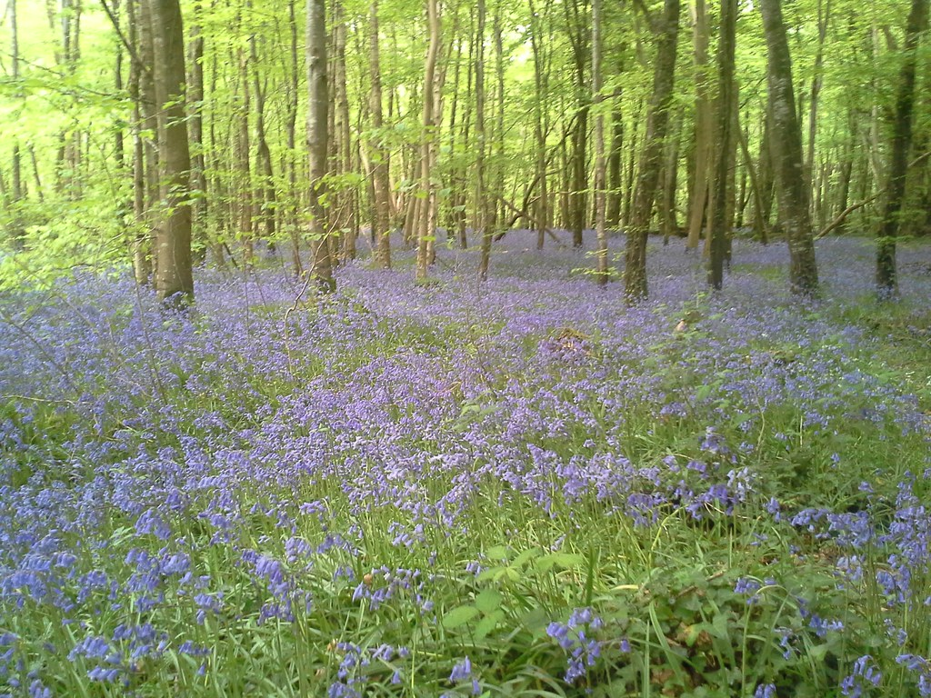 beautiful bluebells in killinthomas wood rathangan co k