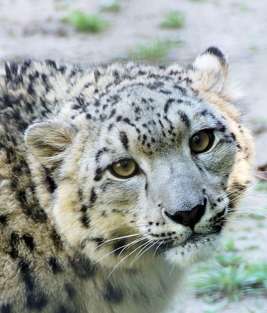 Snow leopard face side - photo#35