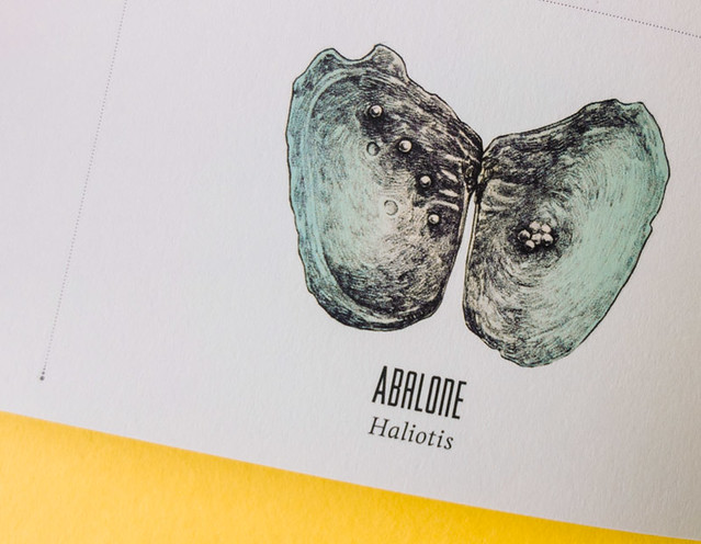 detailed abalone illustration