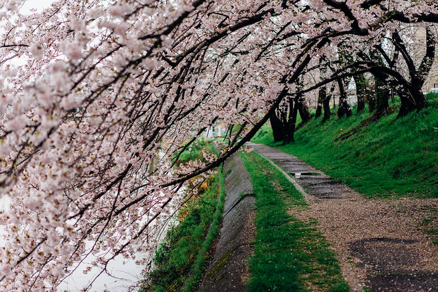 CherryBlossoms_13