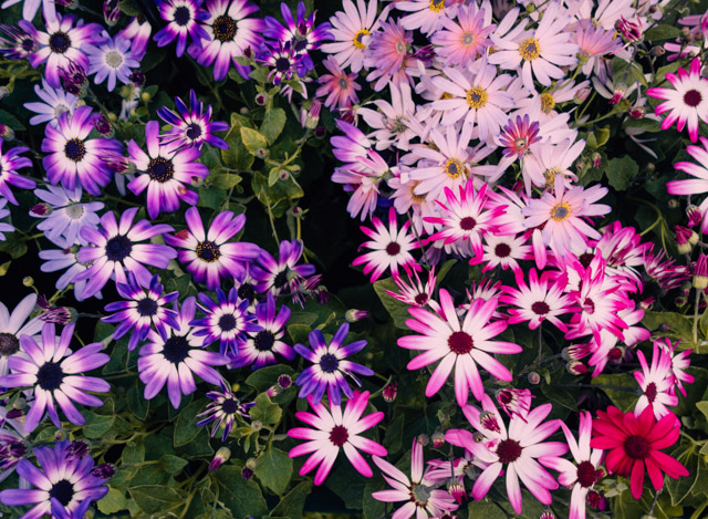 purple and pink cineraria flowers - RHS cardiff