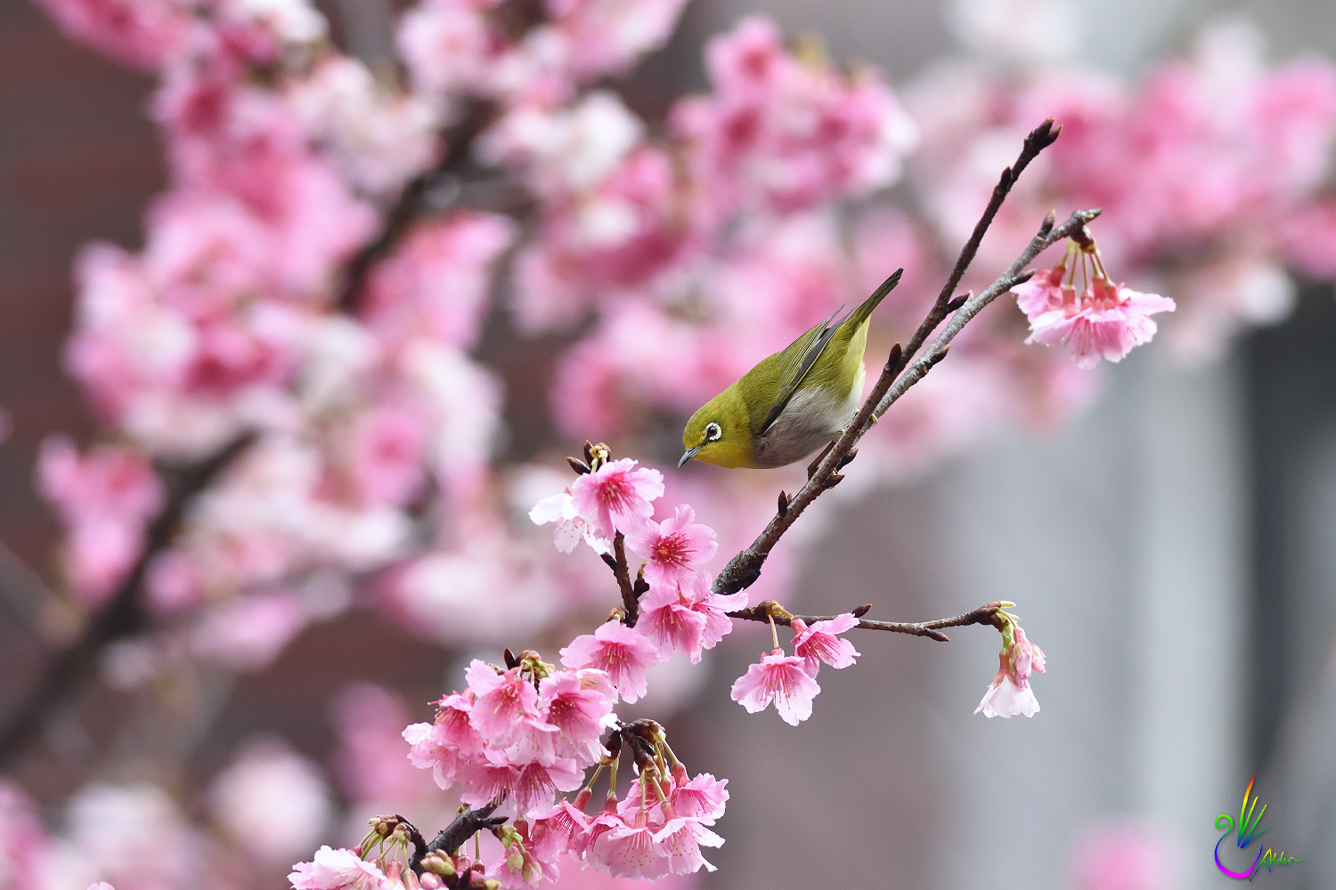 Sakura_White-eye_1237