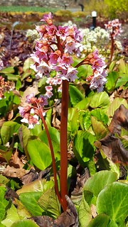 Pigsqueak bergenia