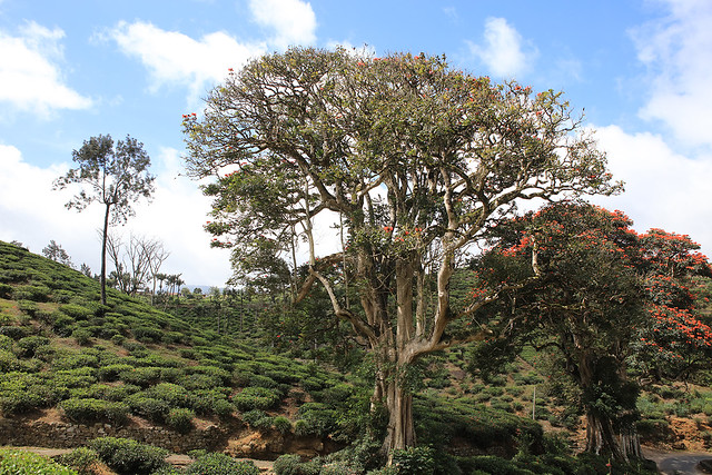 PW-Ceylon-Tea Country15