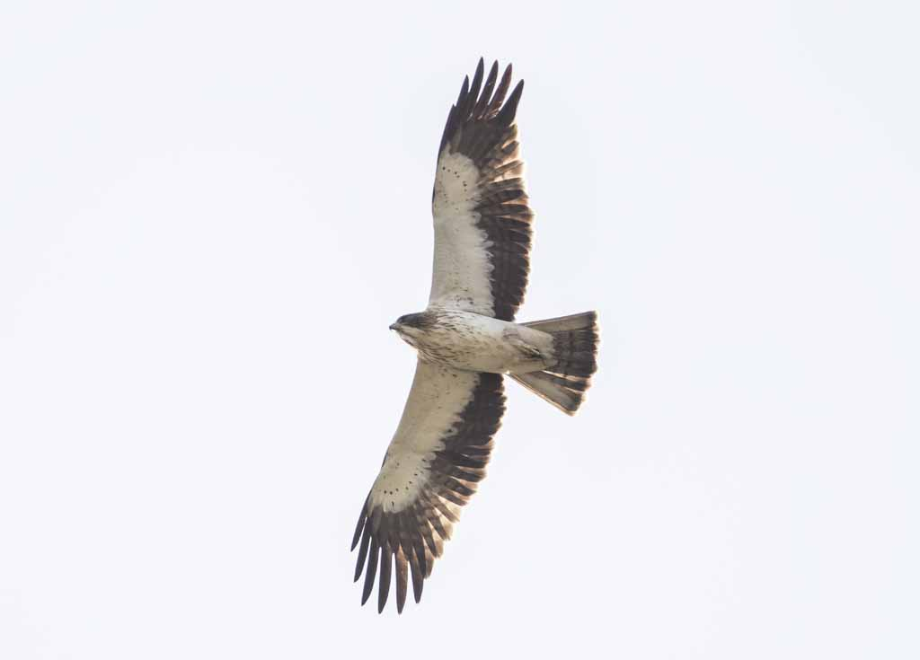 Booted Eagle Aquila pennata