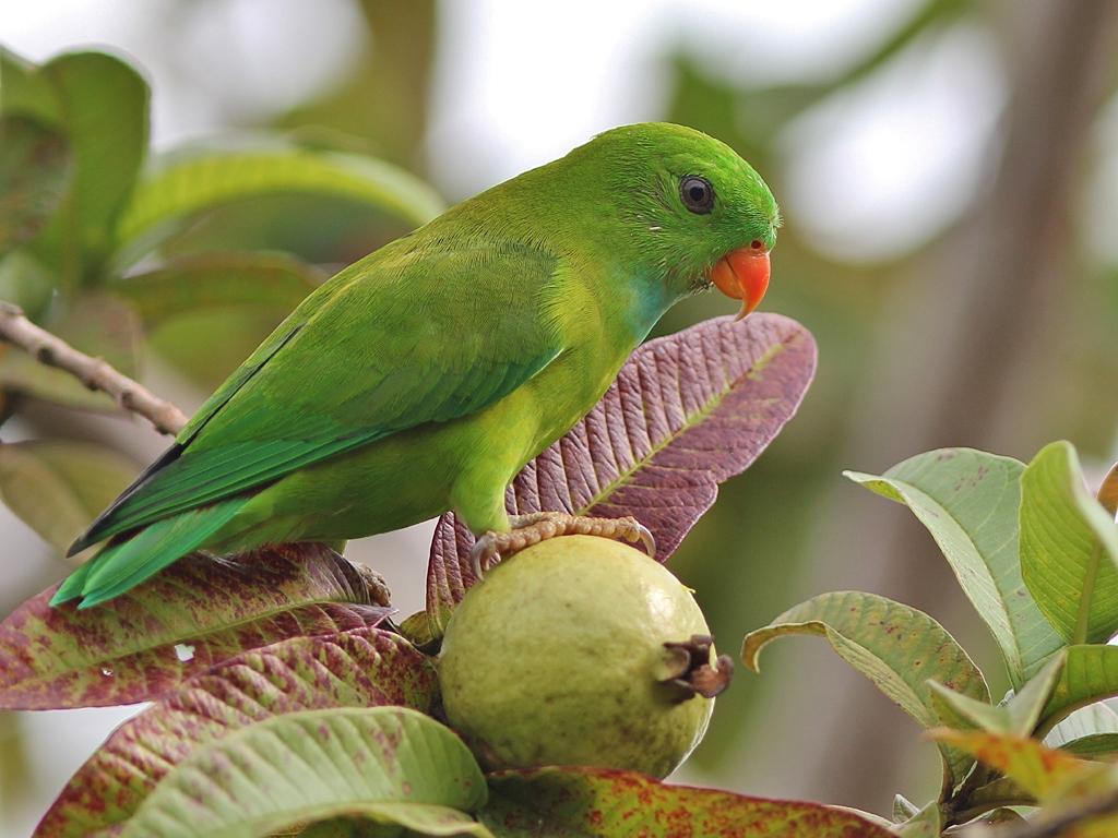 Indian Green Parrot Baby Vernal Hanging ...