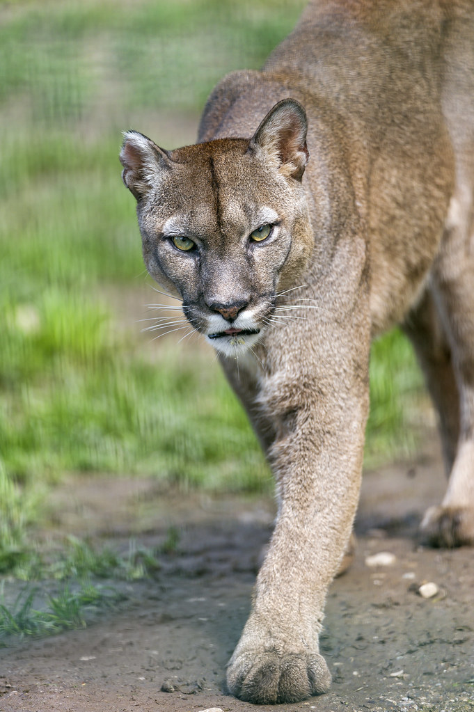 cougar habitat map with 14782212234 on 07 as well 5164028799 also Eastern Puma together with File Bobcat Lynx rufus distribution map furthermore Basic Facts.