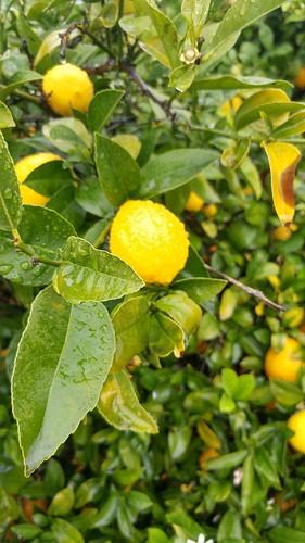 Rainy Lemons