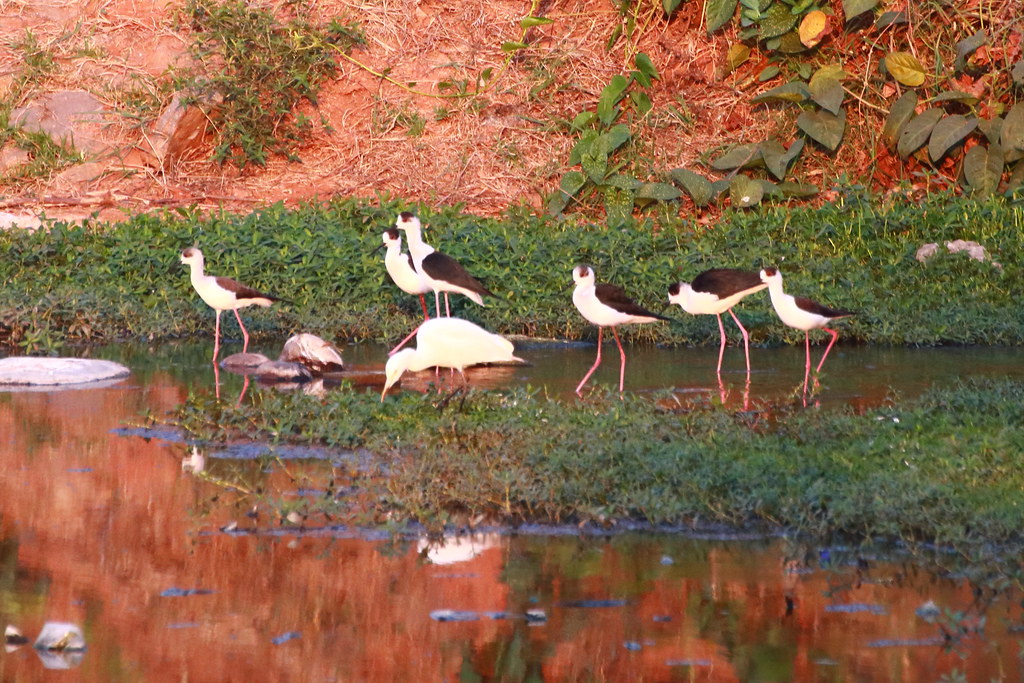 Black winged stilts and one intermediate egret