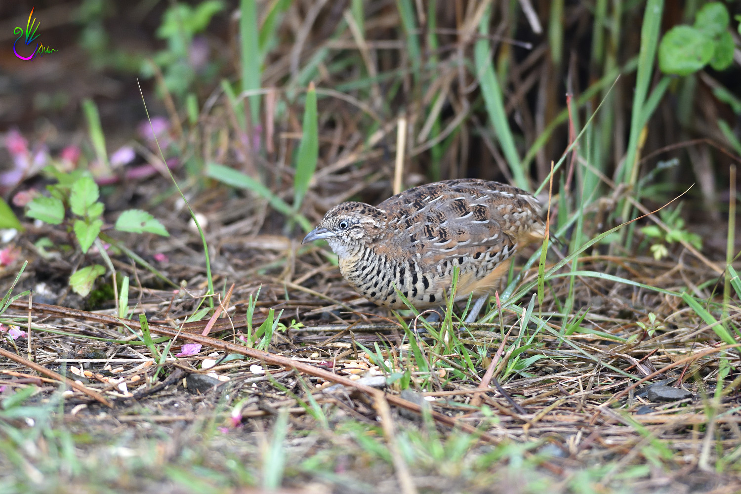 Barred_Buttonquail_7405