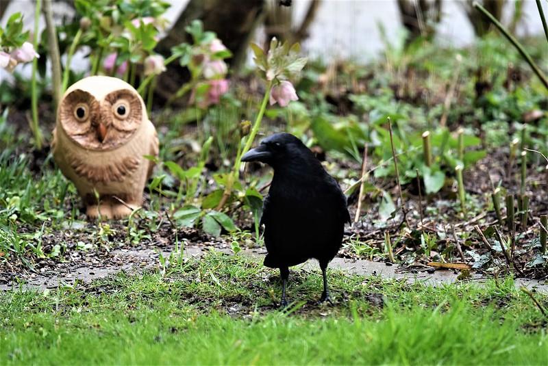 Crow 18.03 (8)