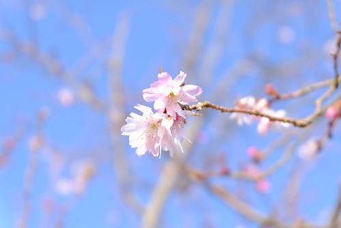2017.04.02 池田城の桜?