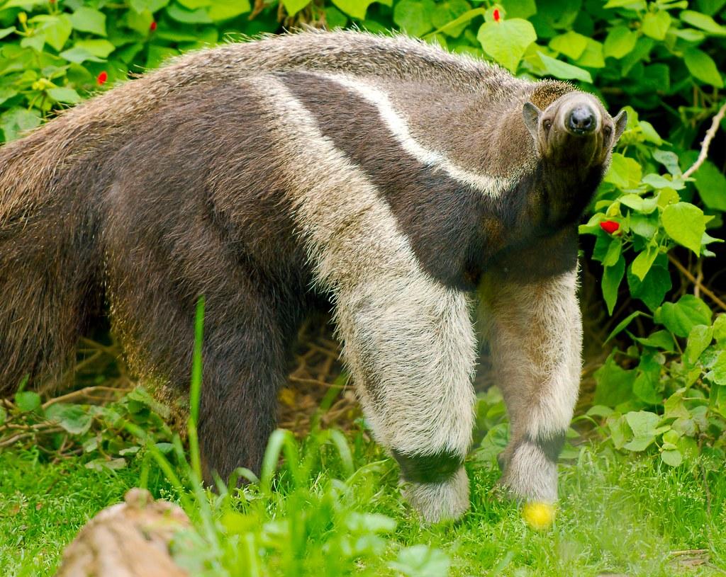 Giant Anteater_4