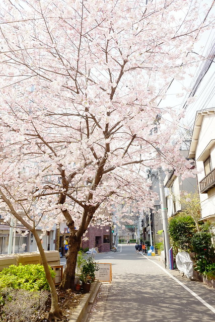 cherry blossoms at street