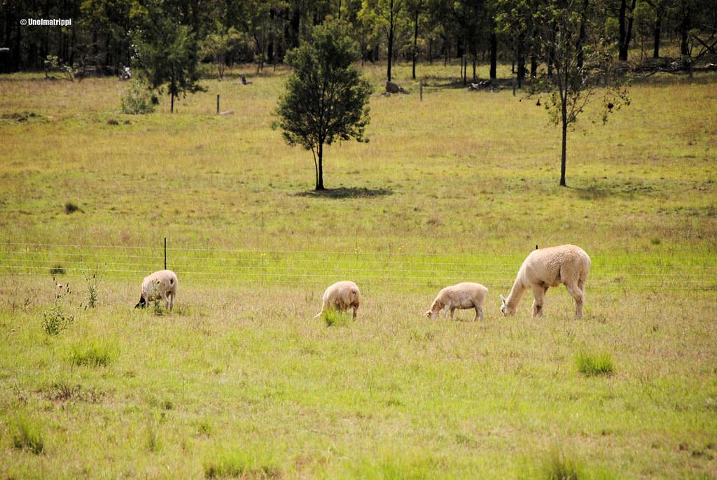 Lampaita pellolla Hunter Valleyssä Australiassa