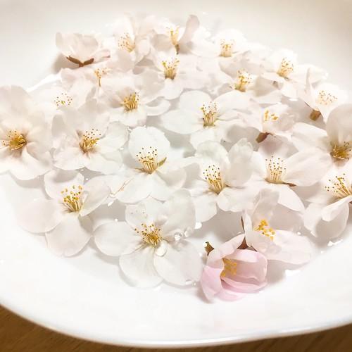 すずめがつっついて落ちた桜の花