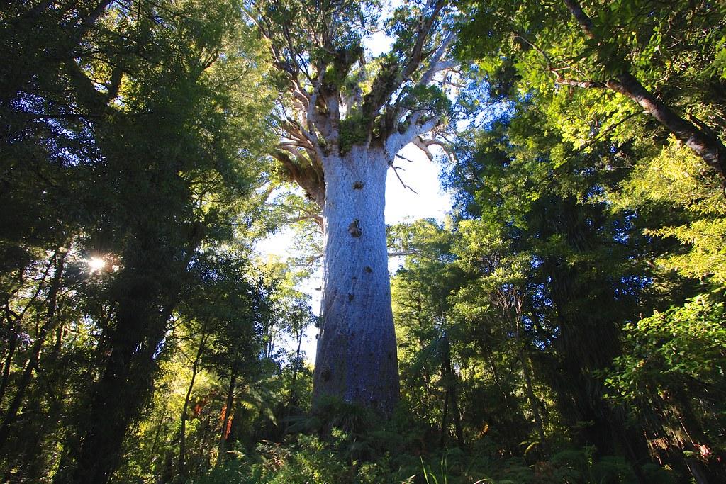 Kisah Tane Mahuta, Kisah Pohon Keramat yang Kini Sedang Sekarat