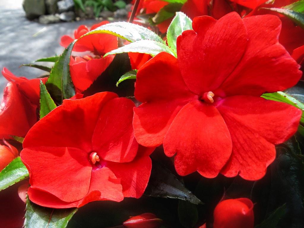 Entre plantas y macetas consejos para cuidar la alegr a del hogar durante todo el a o - Alegria planta cuidados ...