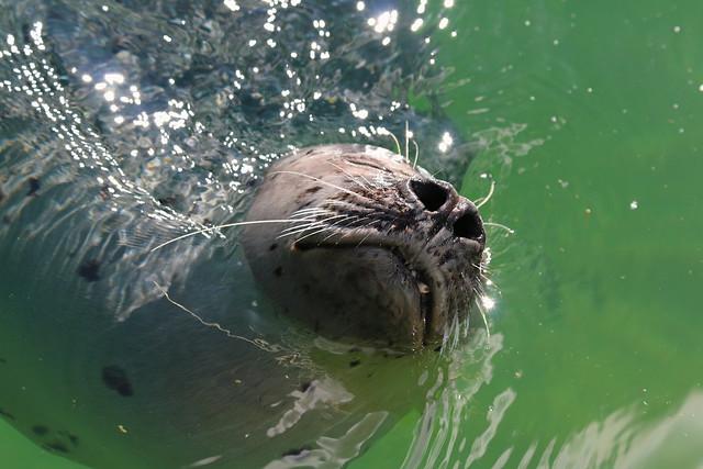 Seal Snout