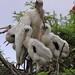 Wood stork family of four