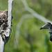 Eastern Kingbird (Tyrannus tyrannus), female