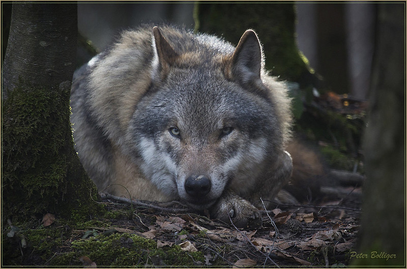 Grey wolf watching me