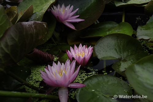 Waterlelie Dallas / Nymphaea Dallas
