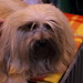 Crufts 2017: Day Two (Toy and Utility): 10-March 2017