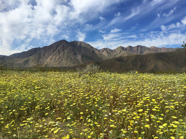 Desert dandelion and hills