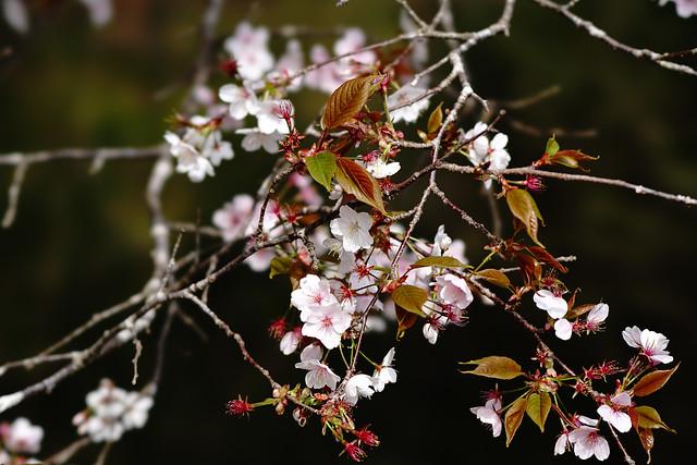 a6500×SEL100F28GMの桜